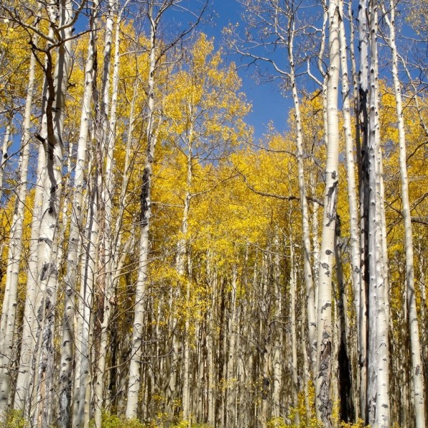 Aspen grove in full fall colors.  Crested Butte, Colorado